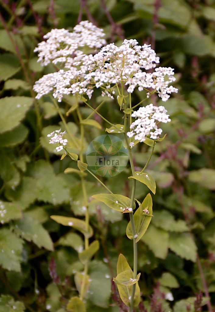 Peltaria alliacea   Foto von Peltaria alliacea. Das Foto wurde in Dresden, Sachsen, Deutschland aufgenommen. ---- Photo of Peltaria alliacea.The picture was taken in Dresden, Sachsen, Germany.