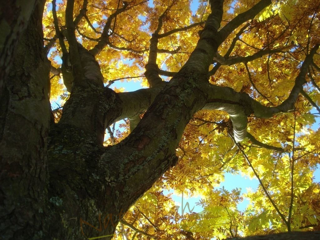 Kraftbaum im Herbstfeuer