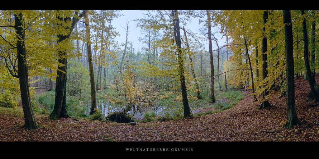 Weltnaturerbe Grumsin | Buchen am Moor im Weltnaturerbe Buchenwald Grumsin im Herbst