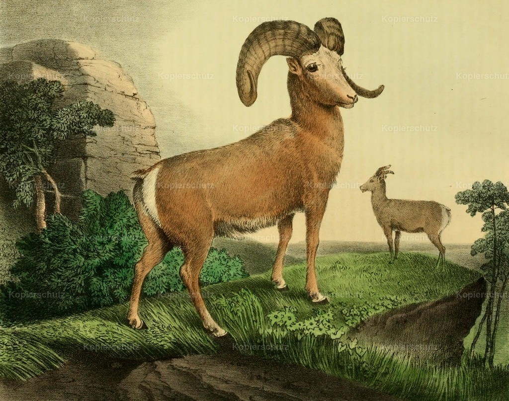 Doughty_ T. (1793-1856) - Cabinet of Natural History 1830 - Argali