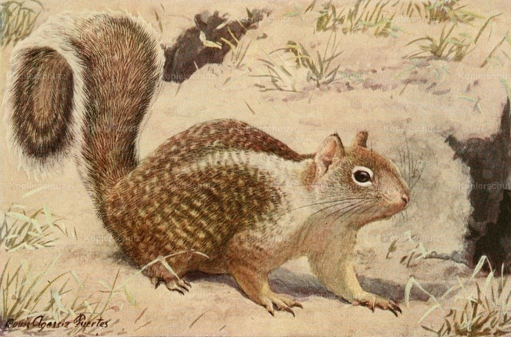 Fuertes_ L.A. (1874-1927) - Wild Animals of N. America 1918 - California Ground Squirrel