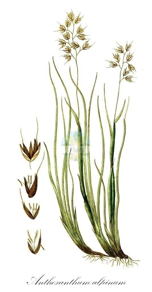 Historical drawing of Anthoxanthum alpinum (Alpine Bentgrass) | Historical drawing of Anthoxanthum alpinum (Alpine Bentgrass) showing leaf, flower, fruit, seed