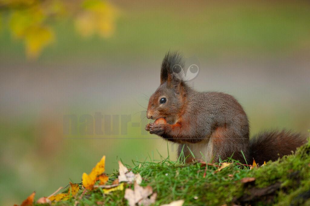 20081029163629 | Das Eurasische Eichhörnchen, häufig nur als Eichhörnchen bekannt, ist ein Nagetier aus der Familie der Hörnchen. Es ist der einzige natürlich in Mitteleuropa vorkommende Vertreter aus der Gattung der Eichhörnchen und wird zur Unterscheidung von anderen Arten wie dem Kaukasischen Eichhörnchen und dem in Europa eingebürgerten Grauhörnchen auch als Europäisches Eichhörnchen bezeichnet.