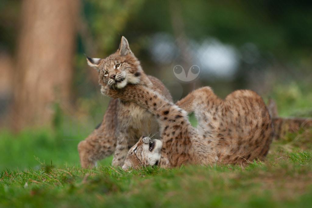 20081010160915   Die Luchse sind eine Gattung der Familie der Katzen. Alle vier heute lebenden Arten kommen auf der Nordhalbkugel vor: Der Eurasische Luchs ist in weiten Teilen Europas und Asiens verbreitet;