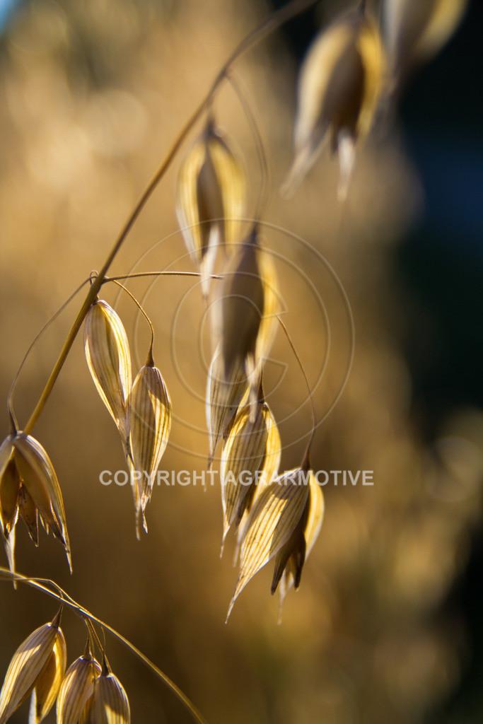 20130801-_MG_8408   reife Haferpflanzen - AGRARMOTIVE Bilder aus der Landwirtschaft