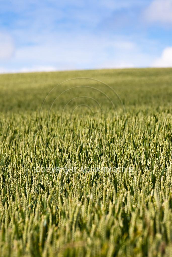 20090613-IMG_2993 | Weizen vor der Abreife AGRARMOTIVE