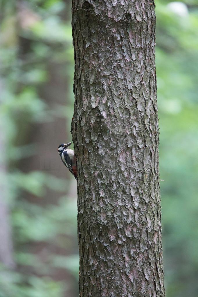 20150516_150154-2  | Der Buntspecht ist eine Vogelart aus der Familie der Spechte. Der kleine Specht besiedelt große Teile des nördlichen Eurasiens sowie Nordafrika und bewohnt Wälder fast jeder Art sowie Parks und baumreiche Gärten.