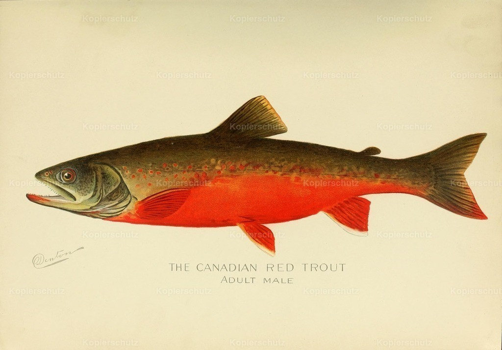 Denton_ S.F. (1856-1907) - Commissioners of Fisheries NY 1899 - Canadian Red Trout