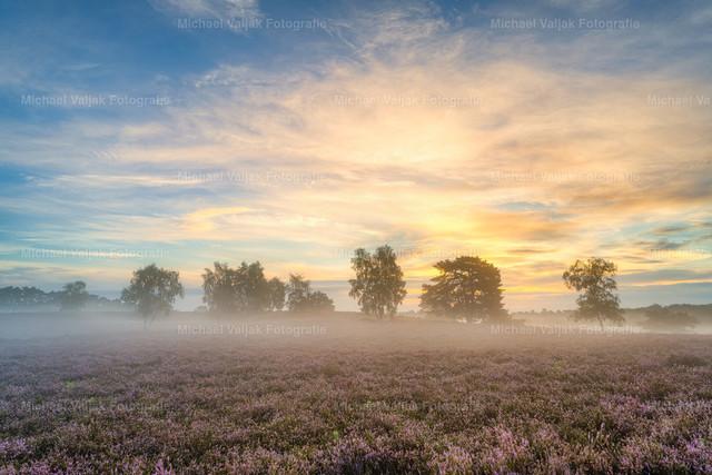 Nebliger Sonnenaufgang in der Westruper Heide | Sonnenaufgang in der blühenden Heidelandschaft bei Haltern am See im Münsterland an einem nebligen Sommermorgen.