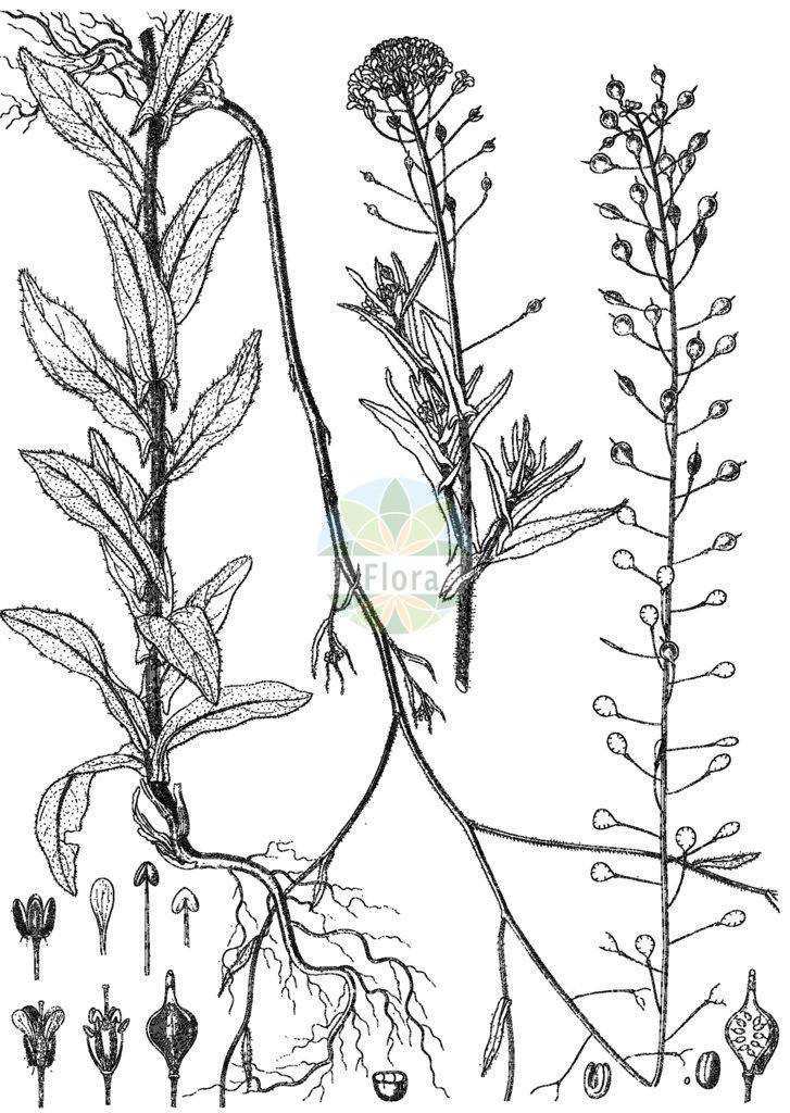 Camelina microcarpa (Kleinfruechtiger Leindotter - Lesser Gold-of-Pleasure) | Historische Abbildung von Camelina microcarpa (Kleinfruechtiger Leindotter - Lesser Gold-of-Pleasure). Das Bild zeigt Blatt, Bluete, Frucht und Same. ---- Historical Drawing of Camelina microcarpa (Kleinfruechtiger Leindotter - Lesser Gold-of-Pleasure).The image is showing leaf, flower, fruit and seed.