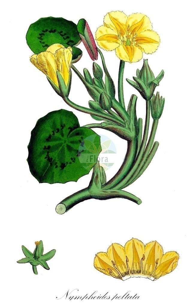 Historical drawing of Nymphoides peltata (Fringed Water-lily) | Historical drawing of Nymphoides peltata (Fringed Water-lily) showing leaf, flower, fruit, seed