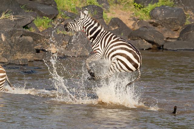 Krokodilattacke auf Zebra | Völlig paralysiert springt das Zebra senkrecht aus dem Wasser. das Blut spitzt aus der klaffenden Wunde.