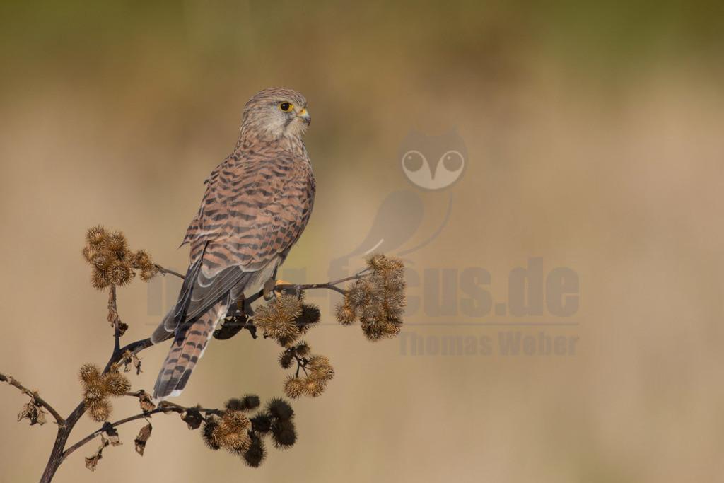 20180902-663A9882 Kopie   Der Turmfalke (Falco tinnunculus) ist der häufigste Falke in Mitteleuropa. Vielen ist der Turmfalke vertraut, da er sich auch Städte als Lebensraum erobert hat und oft beim Rüttelflug zu beobachten ist. Hier ist ein Weibchen auf einer Klette zu sehen.