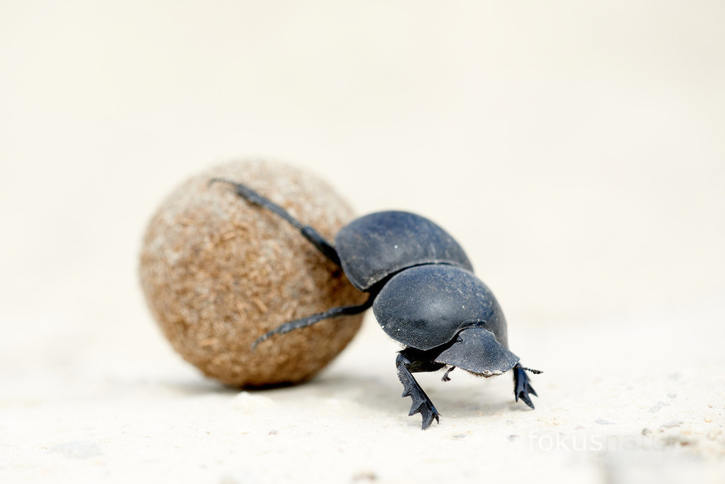 Pillendreher bei der Arbeit   Mistkäfer oder Pillendrehen sind ein wunderbares Symbol für die Recycle-Fähigkeiten der Natur.