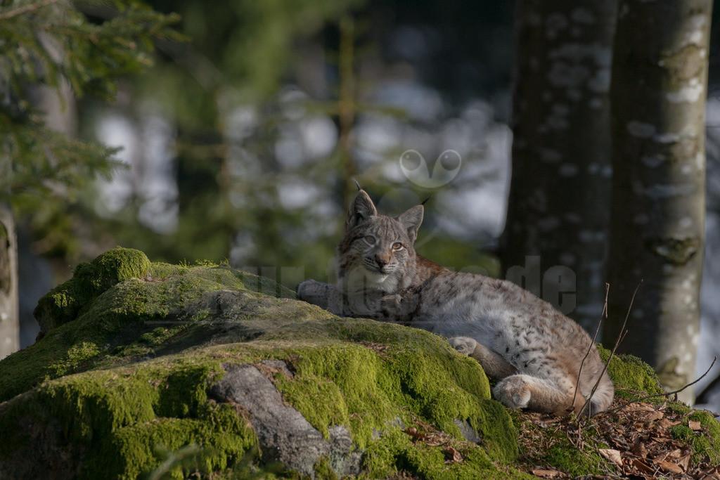 Luchs | Die Luchse sind eine Gattung in der Familie der Katzen. Alle vier heute lebenden Arten kommen auf der Nordhalbkugel vor: Der Eurasische Luchs ist in weiten Teilen Europas und Asiens verbreitet.