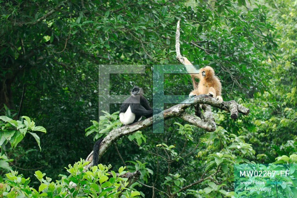 MW02267-FF | Vietnam | Provinz Ninh Binh | Reportage: Endangered Primate Rescue Center | Ein Weißwangen-Schopfgibbon (Weibchen) und ein Delacour-Langur (Affe mit weißen Shorts). Der Deutsche Tilo Nadler leitet das Rettungszentrum für gefährdete Primaten im Cuc-Phuong-Nationalpark.   ** Feindaten bitte anfragen bei Mario Weigt Photography, info@asia-stories.com **