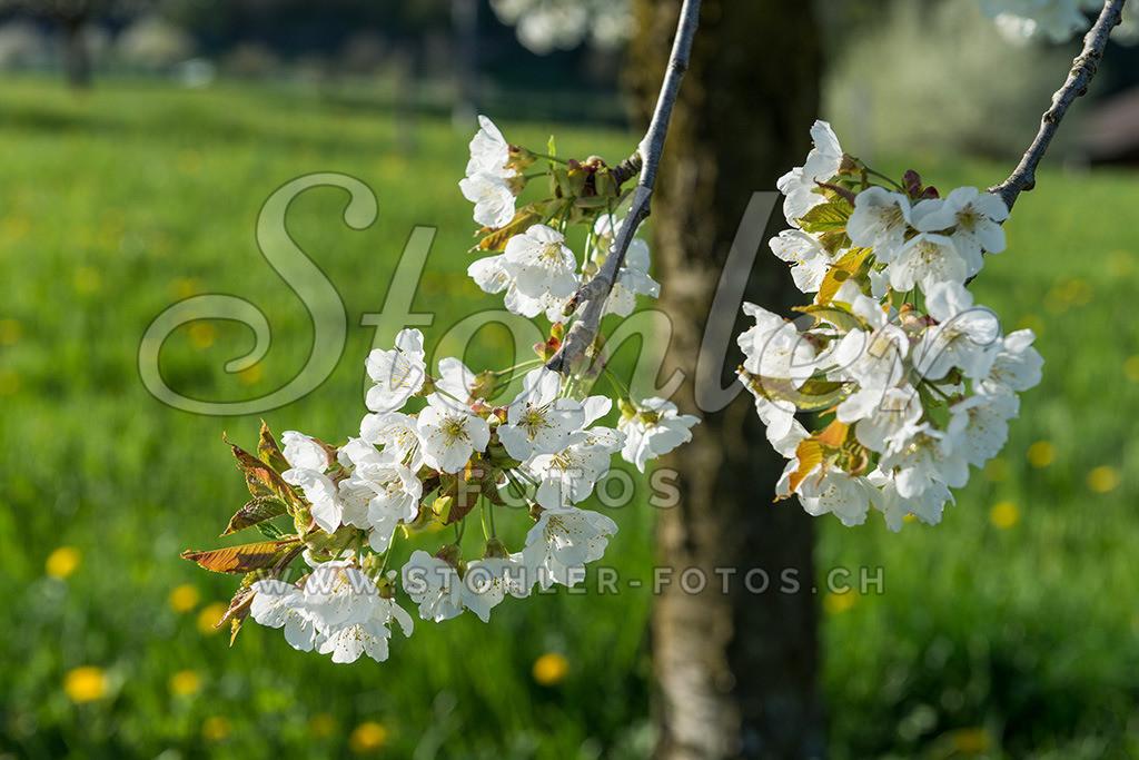Kirschbaumblüten, Ziefen (BL)   Kirschbaumblüten im Gebiet Gutenspiel, Ziefen im Kanton Baselland.