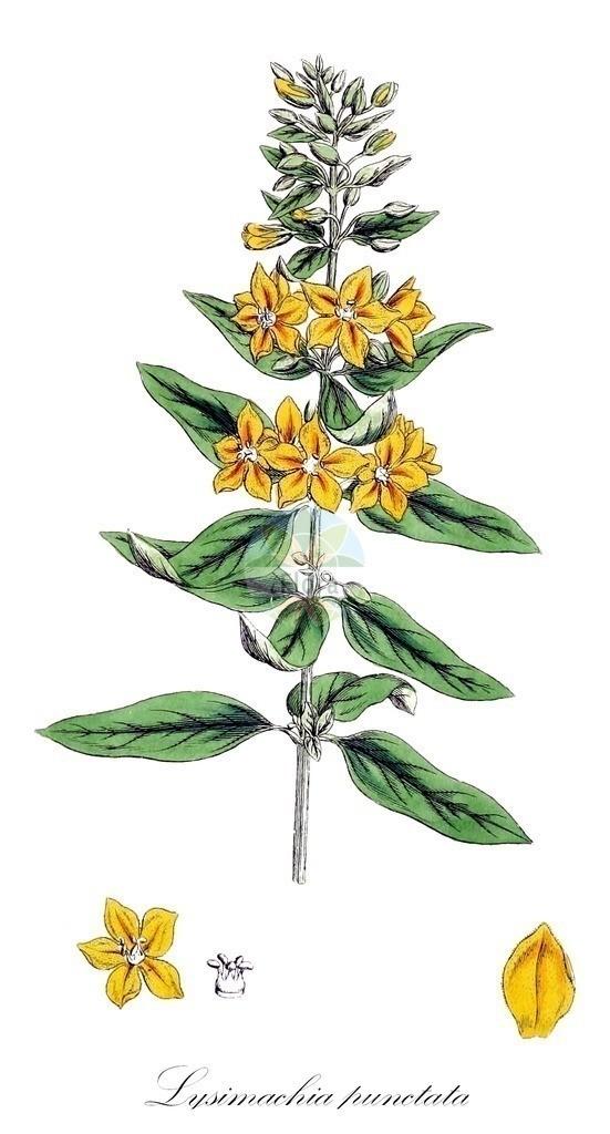 Historical drawing of Lysimachia punctata (Dotted Loosestrife) | Historical drawing of Lysimachia punctata (Dotted Loosestrife) showing leaf, flower, fruit, seed