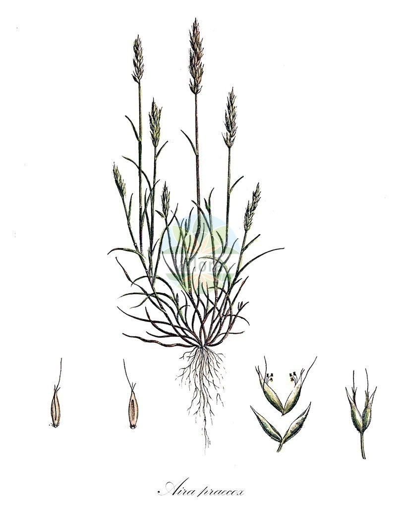 Historical drawing of Aira praecox (Early Hair-grass)   Historical drawing of Aira praecox (Early Hair-grass) showing leaf, flower, fruit, seed