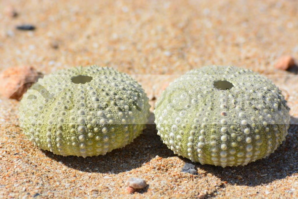 Seeigel Schale am Meer | Seeigel Muscheln im Sand