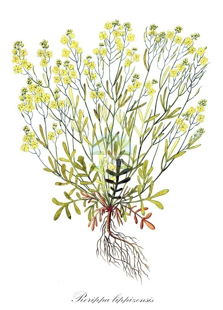 Historical drawing of Rorippa lippizensis (Yellowcress) | Historical drawing of Rorippa lippizensis (Yellowcress) showing leaf, flower, fruit, seed