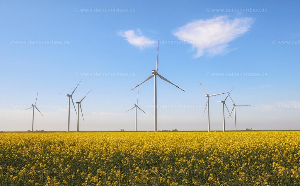 Rapsblüte mit Windmühlen Nordfriesland Koog 2