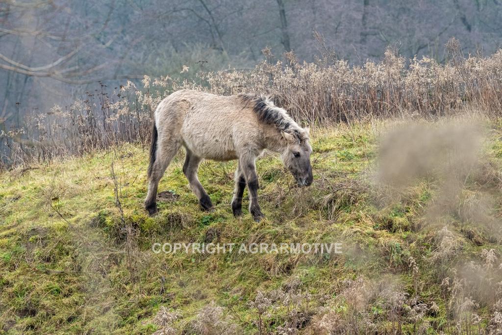 20210110-DSCF5552 | Konik Wildpferde werden in Naturschutzgebiet Emsaue zur Landschaftspflege eingesetzt