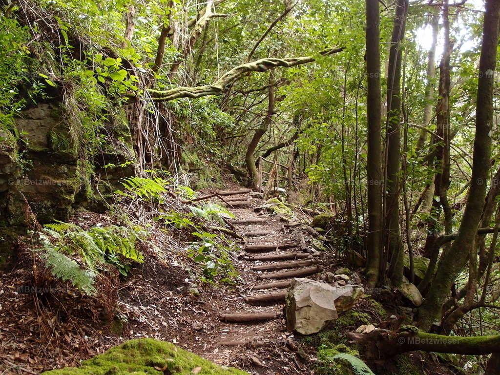 P3085241   Im Lorbeerwald im Norden von La Palma bei Garafia