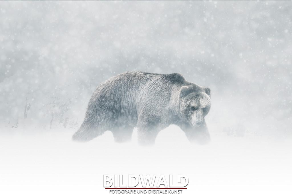 bildwald wildtiere wild tiere bild wald fotograf hamburg kodiakbär kodiak baer schneesturm schnee winter   SONY DSC