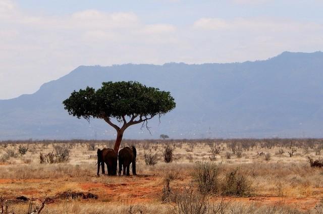 Elephant Love | Zwei Elefanten unter einer Akazie im Tsavo East Nationalpark in Kenia
