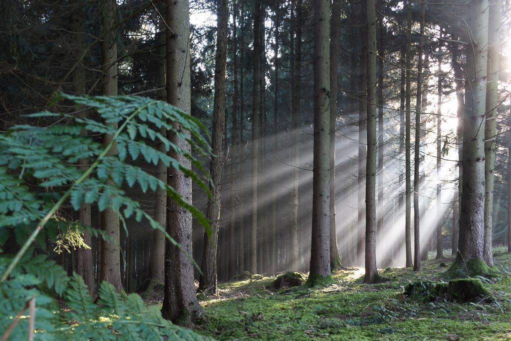 Morgenstimmung im Wald Nr. 2