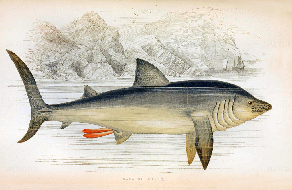 A-History-of-the -Fishes- of- the- British-Islands-Fische-1862-1866 (14)