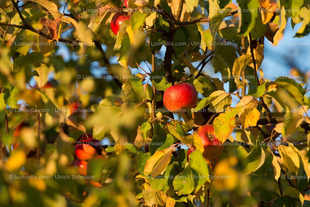 10049-10257 - Herbstlicher Apfelbaum | max. Auflösung 7360 x 4912