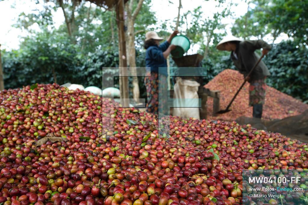 MW04100-FF | Laos | Paksong | Reportage: Kaffeeproduktion in Laos | Nach dem Pflücken werden die Kaffeekirschen mittels einer Maschine von ihrer Schale befreit. In den Plantagen auf dem Bolaven-Plateau wachsen Sträucher der Kaffeesorten Robusta und Arabica.  ** Feindaten bitte anfragen bei Mario Weigt Photography, info@asia-stories.com **