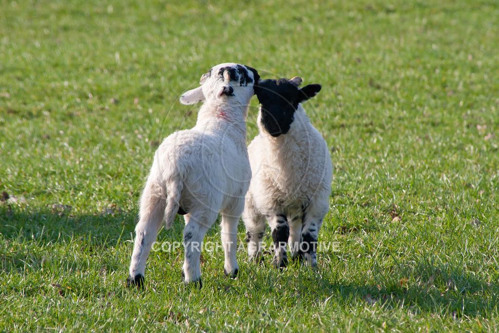 250307-165404 | Schafherde auf der Weide - AGRARBILDER