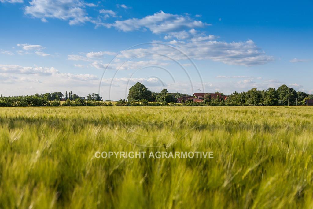 20090529-IMG_2092 | grünes Gerstenfeld vor der Abreife - AGRARFOTO