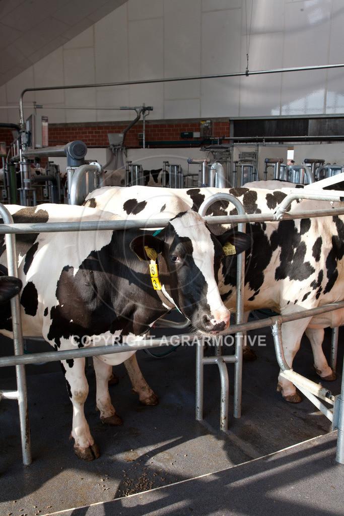 20100821-IMG_0277 | Kühe werden im Melkkarussell gemolken