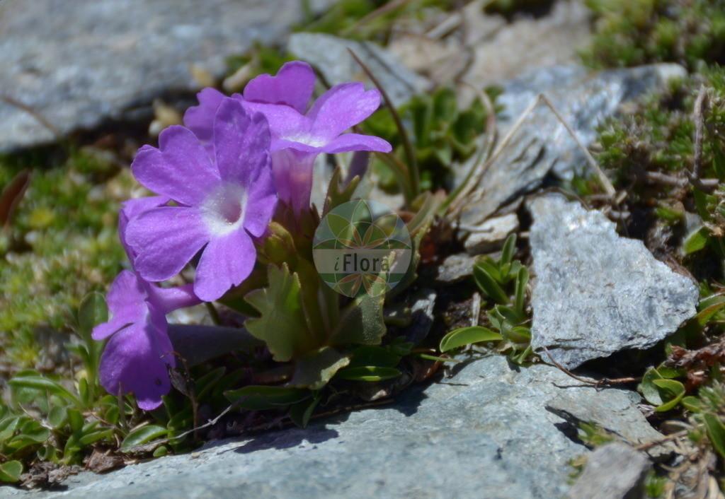 Primula hirsuta (Behaarte Schluesselblume - Hairy Primrose) | Foto von Primula hirsuta (Behaarte Schluesselblume - Hairy Primrose). Das Bild zeigt Blatt und Bluete. Das Foto wurde in Stilfserjoch, Bormio, Lombardia, Italien, Alpen aufgenommen. ---- Photo of Primula hirsuta (Behaarte Schluesselblume - Hairy Primrose).The image is showing leaf and flower.The picture was taken in Stilfserjoch, Bormio, Lombardia, Italy, Alps.