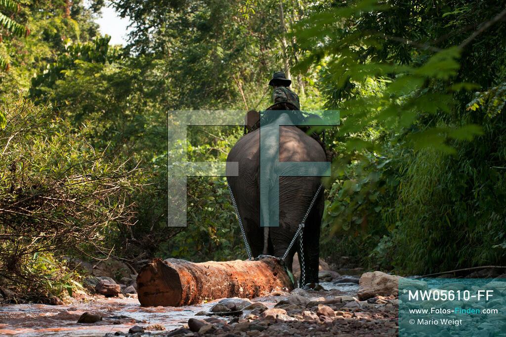 MW05610-FF   Laos   Provinz Sayaboury   Reportage: Arbeitselefanten in Laos   Arbeitselefant zieht Baumstamm durch den Fluss. Der Mahut (Tierpfleger) gibt die Kommandos dafür. Lane Xang -