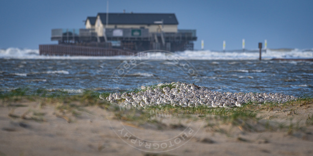 fotograf sankt peter-ording mobbys-pics.com_MOB6178 | Seevögelsiesta im Sturm