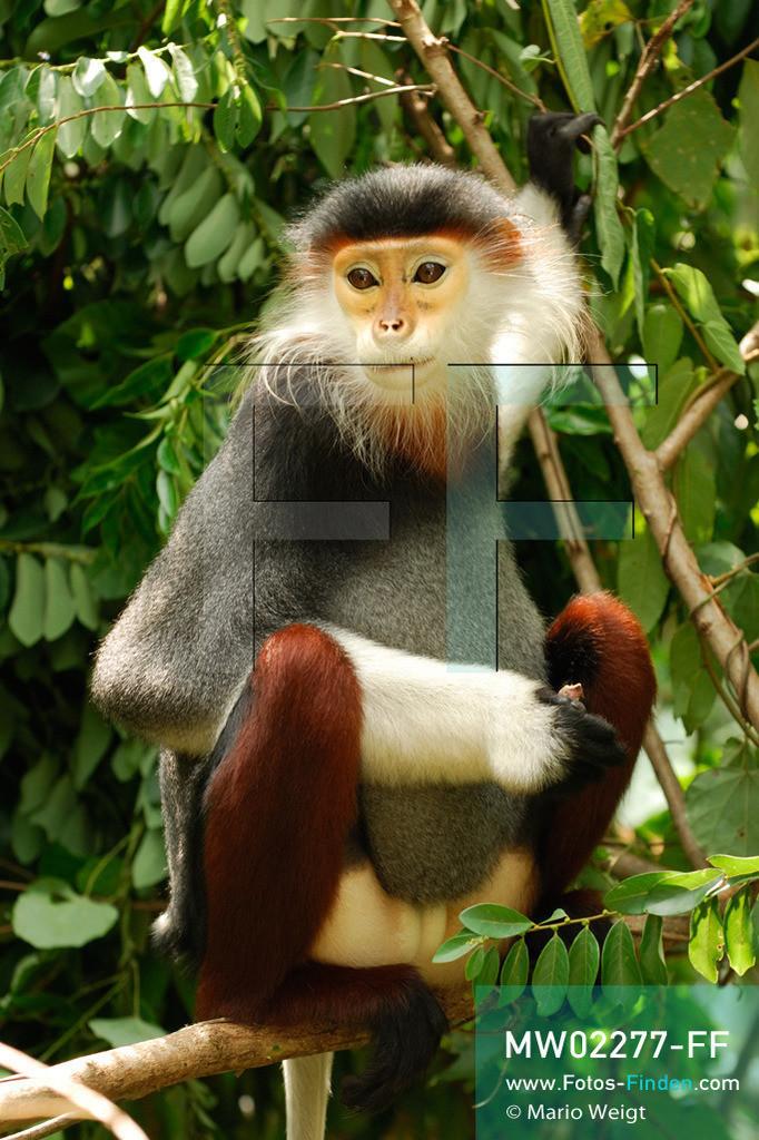 MW02277-FF | Vietnam | Provinz Ninh Binh | Reportage: Endangered Primate Rescue Center | Rotgeschenkliger Kleideraffen. Der Deutsche Tilo Nadler leitet das Rettungszentrum für gefährdete Primaten im Cuc-Phuong-Nationalpark.     ** Feindaten bitte anfragen bei Mario Weigt Photography, info@asia-stories.com **