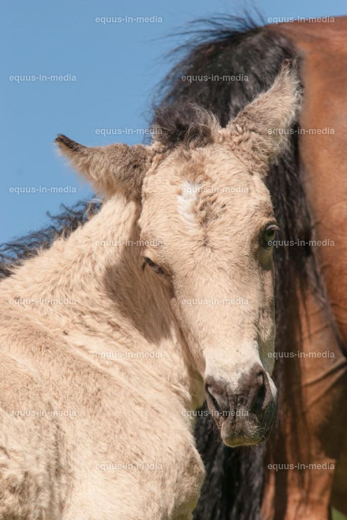 20100616-DSC_6595   Curly Horse Fohlen steht dicht bei seiner Mutter