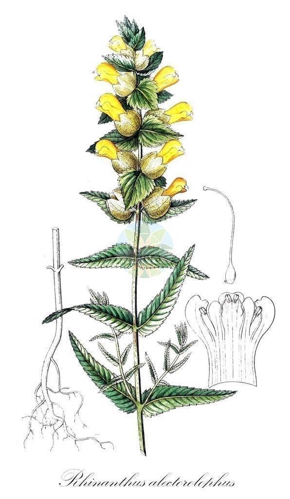 Historical drawing of Rhinanthus alectorolophus (Greater Yellow Rattle) | Historical drawing of Rhinanthus alectorolophus (Greater Yellow Rattle) showing leaf, flower, fruit, seed