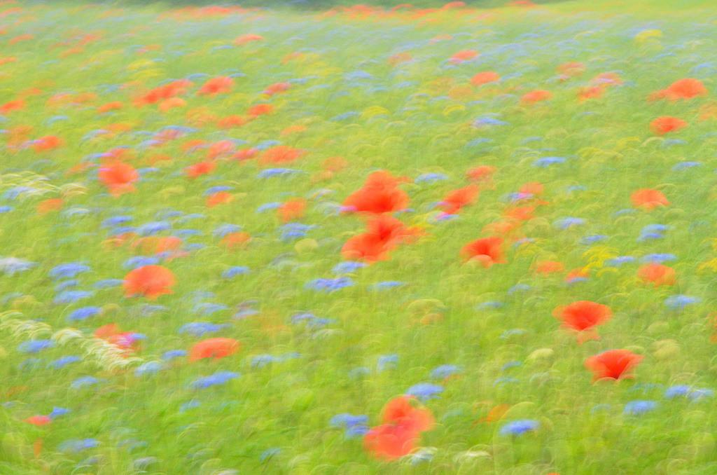 Sommerfeld | Mohnblüten mit Kornblumen auf Sommerwiese