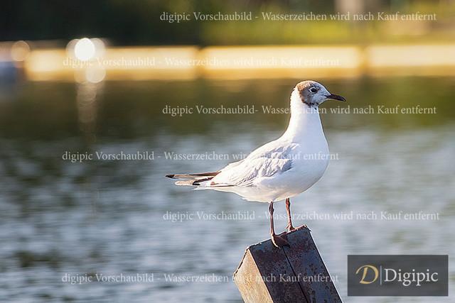 IMGL3497bw | Möve auf der Alten Donau