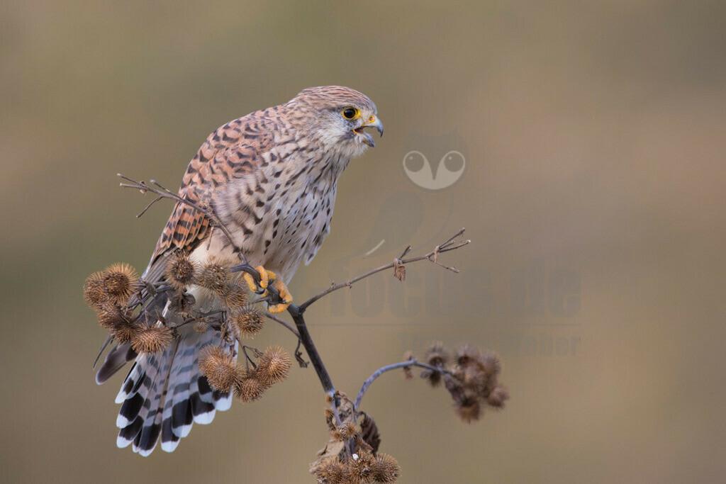 20180916-663A1760 Kopie | Der Turmfalke (Falco tinnunculus) ist der häufigste Falke in Mitteleuropa. Vielen ist der Turmfalke vertraut, da er sich auch Städte als Lebensraum erobert hat und oft beim Rüttelflug zu beobachten ist.