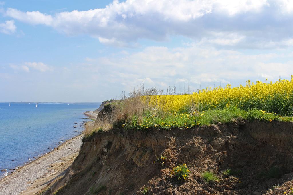 Frühling an der Ostsee   Raps an der Steilküste
