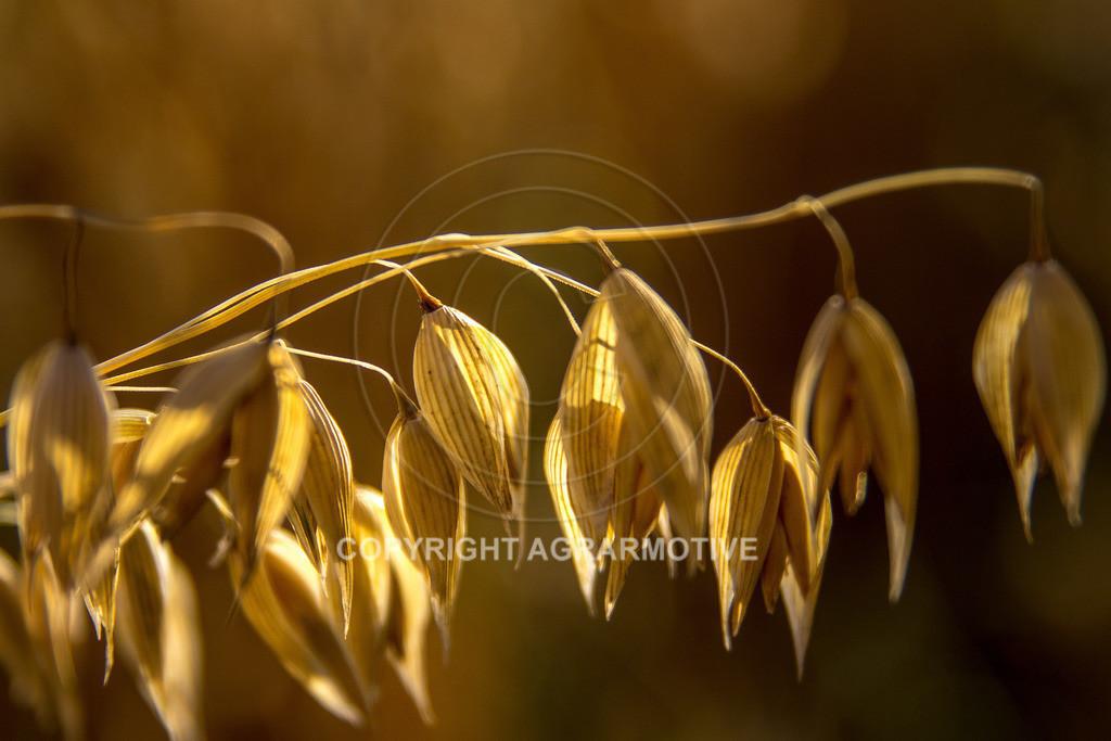 20130801-_MG_8406   reife Haferpflanzen - AGRARMOTIVE Bilder aus der Landwirtschaft