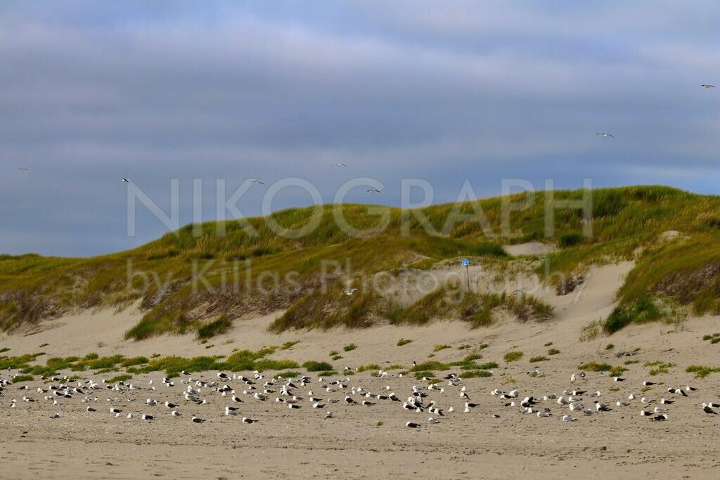 Möwen am Strand | Möwen haben sich am Strand vor den Dünen von Texel versammelt