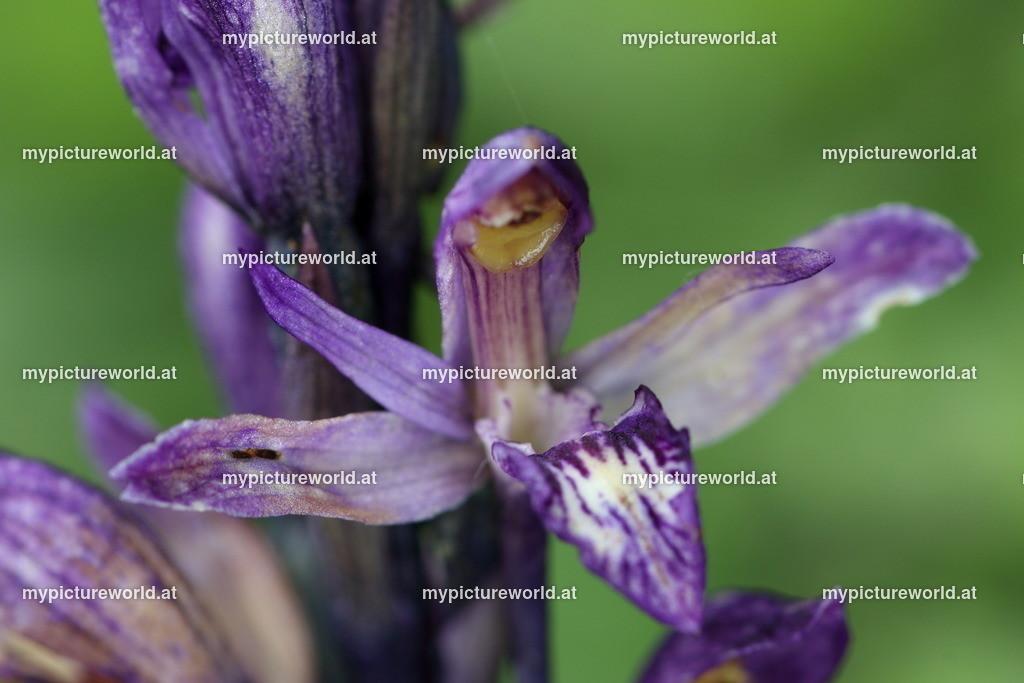 Violetter Dingel-006